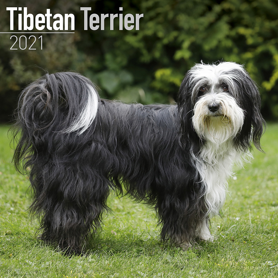 Tibetan Terrier kalenteri 2021 - Asopkauppa